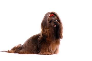 Hund Shih Tzu sitzend