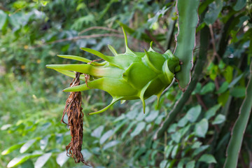 Dragon fruit on a tree
