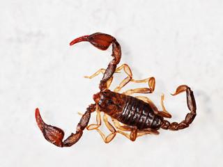 European aka British scorpion - Euscorpius flavicaudis
