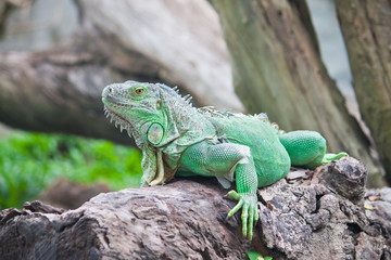 green iguana on wood