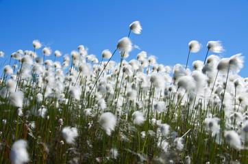 Cotton grass against a blue sky