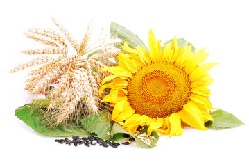 Sunflower and wheat classes, seeds