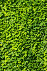Green leaves - texture