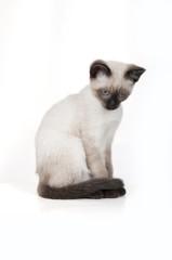 Siamese kitten isolated