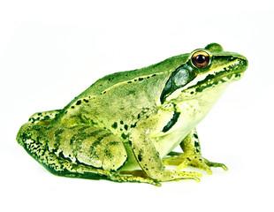 Wall Mural - frog