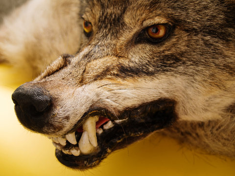 muzzle of wolf