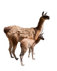 Fotorolgordijn Lama Lamas, Mutter Kind