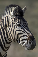 Portrait of Burchells zebra; Equus Burchelli