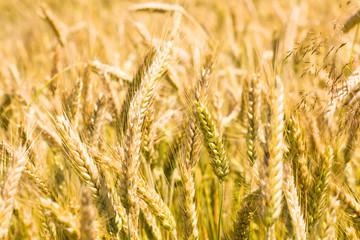 Ripened wheat