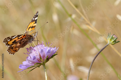papillon belle dame butinant une fleur de scabieuse stock photo and royalty free images on fotoliacom pic 29636229