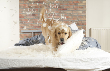 Dog demolishes pillow