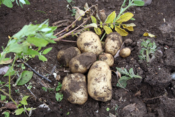 earthing up potatoes
