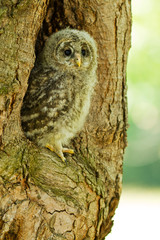 An young Ural Owl (Strix uralensis)