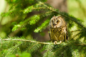 Long Eared Owl (Asio otus, Strix otus)