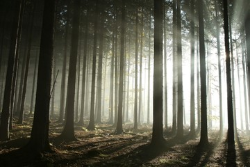 Keuken foto achterwand Bos in mist Coniferous forest lit by the morning sun on a foggy day