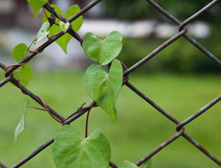 Plant on rusty metal chain link fence wire