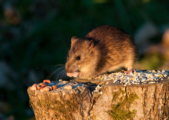 Brown Rat eating wild bird food