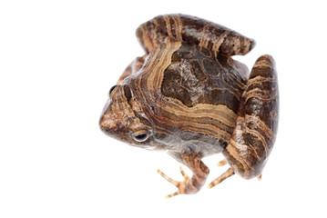 animal frog