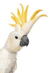 Close-up of Sulphur-crested Cockatoo, Cacatua galerita