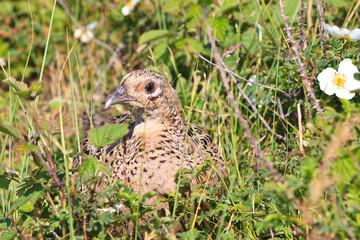 Pheasant female bird