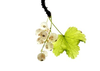 White currant isolated on white background
