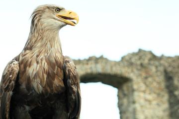 Sea eagle at ruins of a castle, Haliaeetus albicilla