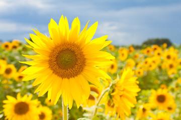 strahlende Sonnenblume