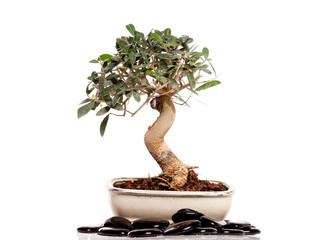 bonsaï olivier et galets