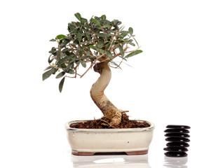 bonsaï- olivier de 8 ans et galets empilés