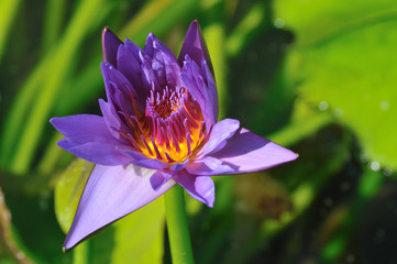Purple-yellow water lily