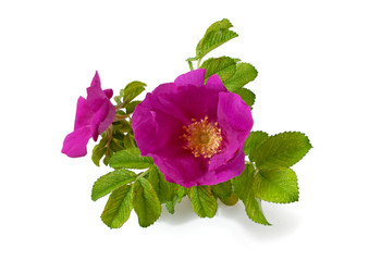 Blüte der Hagebutte