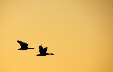 Die Gänse - Geese