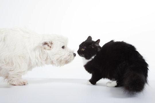 face à face du chat et du chien - westie chat de gouttière