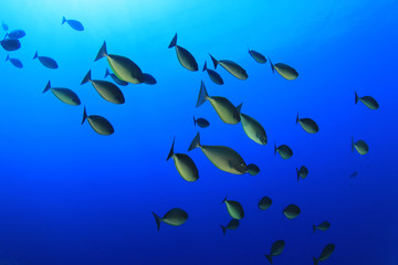 School of Sleek Unicornfish
