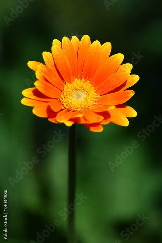 orange gerbera im garten stock photo and royalty free images on pic 34034986. Black Bedroom Furniture Sets. Home Design Ideas