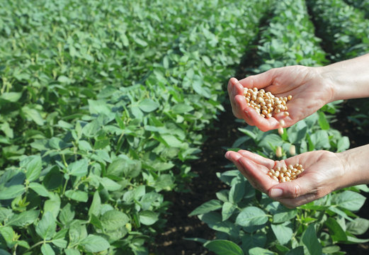 Agricultural concept, soybeans, hands and soy field