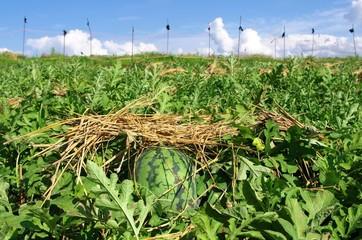 青空の西瓜畑