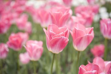 Photo sur Plexiglas Rose banbon チューリップ