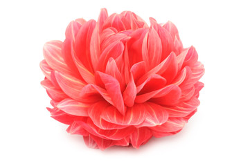 Keuken foto achterwand Dahlia Beautiful Red Dahlia Isolated on White Background