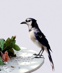 Closeup of Blue Jay on table on deck in the early morning