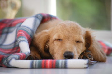 仔犬のお昼寝
