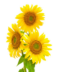blooming sunflowers closeup isolated on white background