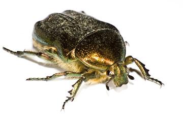 iridescent bug in close up