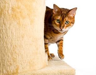 Bengal kitten creeps round corner of climbing frame