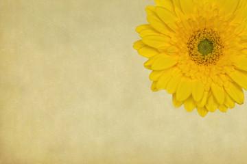 Fotomurales - gelbe Gerbera-Blüte auf Grunge-Hintergrund