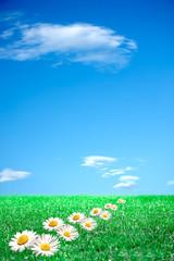 Margherite su prato verde e cielo azzurro