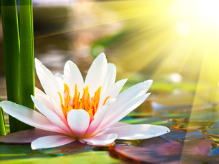 beautiful water lily in the light