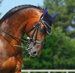 Equestrian sport - portrait of dressage horse