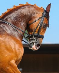 Equestrian sport - portrait of dressage horse
