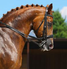 Fototapete - Equestrian sport - portrait of dressage horse